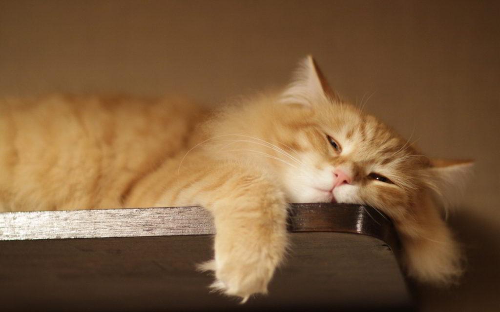 7019761-lazy-cat